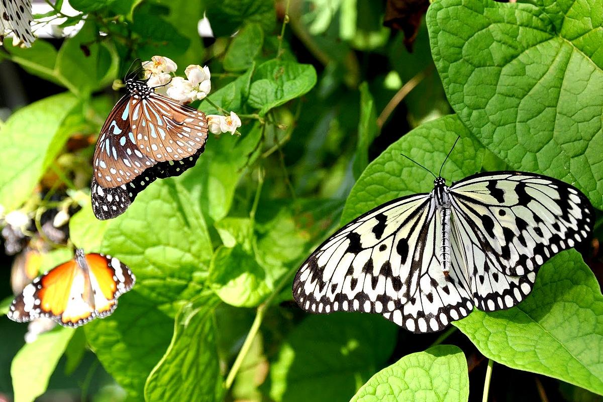ماليزيا كوالالمبور الاماكن السياحيه حديقة الفراشات